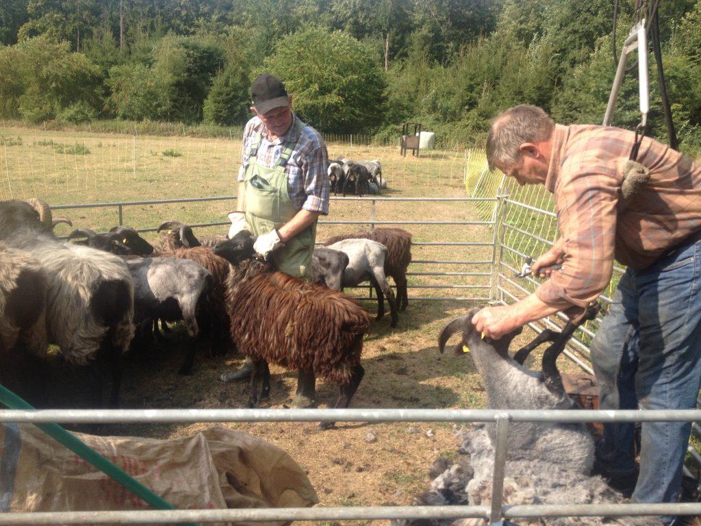 eine Schafschur in bad fallingbostel
